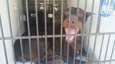 01/09/17-~~HOUSTON - SUPER URGENT - PLEASE WATCH HER VIDEO!!  ~~ This DOG - ID#A475261  I am a female, brown Doberman Pinscher.  The shelter staff think I am about 3 years old.  I have been at the shelter since Jan 08, 2017.  This information was refreshed 43 minutes ago and may not represent all of the animals at the Harris County Public Health and Environmental Services.