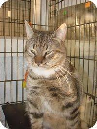 Kinston, NC - Domestic Shorthair. Meet Tiger a Cat for Adoption.