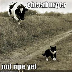 Cheezburger not ripe yet