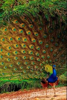 I love peacocks.