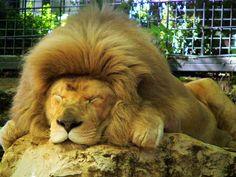 Zoo de Beauval - Lion 25