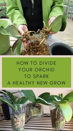 How to Divide Your Orchid To Spark A Healthy New Growth #orchids #orchidcare #orchiddividing #orchidrootdividing Orchid Plant Care, Orchid Care After Flowering, How To Plant Orchids, Orchid Plants, Phalaenopsis Orchid Care, Orchid Flowers, Exotic Plants, Indoor Orchids, Orchids Garden