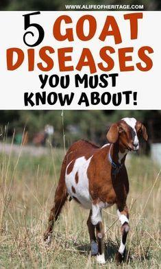 Raising Farm Animals, Raising Goats, Cabras Boer, Breeding Goats, Goat Feeder, Goat Playground, Goat Pen, Boer Goats, Pigmy Goats