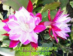 Epiphyllum hybrid 'Old Vintage'