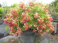 Quisqualis indica ' double' , Rangoon creeper for sale. Marigold Flower, Flower Pots, Moonflower Vine, Creepers Plants, Climbing Flowers, Balcony Plants, Love Garden, Enchanted Garden, Flowering Vines