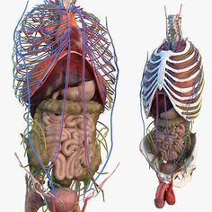 Human Anatomy Female, Human Anatomy Model, Anatomy Models, Human Anatomy And Physiology, Digestive System Anatomy, Human Digestive System, Reproductive System, Endocrine System, Intestines Anatomy