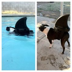 Just when you thought it was safe to get in the pool...Shark dog #bostonterrier