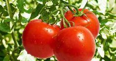 Cultivar tomates es una de las primeras cosas que nos proponemos cuando comenzamos una huerta, tanto