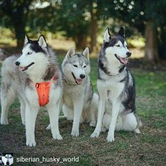 Credit to @siberian_husky_world : 😍😊🐾🐺👫Tag your friends  Double Tap to LIKE 💕 💫reposted from @husky_my_husky #husky #siberianhusky #huskycute #huskypuppies #huskylove #huskyofinstagram #lovedogs #justhuskies #huskypuppy #dog #lovedogs #huskyworld #huskynation #huskygram #siberian #siberianhuskypuppy #huskypics