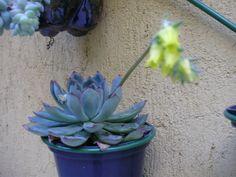 suculenta florida