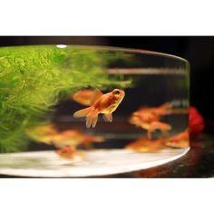 【yatanon_1985】さんのInstagramをピンしています。 《aquarium part3 連投すいません🙏🏼 煌びやかな水槽もいいけど、なぜかホッとしたデメキンの水槽 #canon #eos #70d #yatanon #teamcanon #sigma #ダカフェレンズ #ig_japan #icu_japan #ig_nature #ig_naturepictures #lovers_nippon #lovers_japan #special_spot_ #igers #IGersJP #team_jp_西 #team_jp_ #photooftheday #ファインダー越しの私の世界 #写真好きな人と繋がりたい #写真撮ってる人と繋がりたい #ゆるりIGくらぶ #アクアリウム #aquarium #アートアクアリウム #金魚 #goldfish #堂島 #大阪》 Eos 70d, Goldfish, Aquarium, Pets, Instagram Posts, Goldfish Bowl, Aquarium Fish Tank, Aquarius, Common Carp