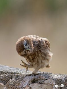 "despicablealexis: "" ""little owl"" by EMMEBIPHOTO """