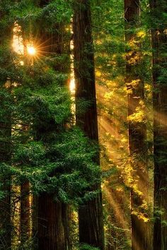 ˚Sun Rays at Coast Redwood (Sequoia sempervirens) Jedediah Smith Redwoods State Park - Del Norte County, CA Sequoia Sempervirens, Tree Forest, Forest Light, Woodland Forest, Walk In The Woods, Land Scape, Beautiful World, Mother Nature, Around The Worlds
