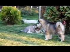Щенки аляскинского маламута / Alaskan malamute puppies - YouTube