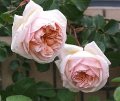 'Evelyn' today.  #rose #roses #rosegarden #garden #mygarden #myrosegarden
