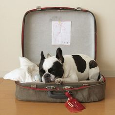 Traveling with French Bulldog?