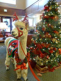 Awwww, how cute is this? Happy Animals, Cute Funny Animals, Farm Animals, Llamas, Llama Pictures, Cute Animal Pictures, Llama Llama Red Pajama, Llama Face, Llama Birthday