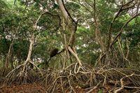 Los manglares son muy importantes en el mantenimiento de la alta productividad biológica del estuario de la Ciénaga Grande.