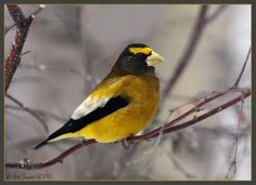 Grosbeak  As a child in the 60's we would have them visit our feeders in NH. Never see them where I live in MA now.