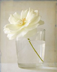 ✿ Bouquet a Day ✿ Monday, May 12, 2014 - Starting off the week with beautiful simplicity and one lovely white bloom in water.