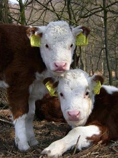 ♥ We own polled herefords and the calves are precious and so curious about everything <3
