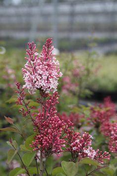 SYRINGA microphylla 'Superba' Syringa, Shrubs, Bonito, Shrub