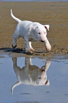 Bull Terrier puppy. Photograph by Alice van Kempen, 2013