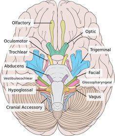 12 Cranial Nerves // Peripheral Nervous System 1-Olfactory /2- Optic/ 3- Oculomotor / 4- Trochlear /5- Trigeminal / 6- Abducens / 7- Facial / 8-Vestibularcochlear /9- Glossopharyngeal /10- Vagus / 11- Accessory / 12- Hypoglossal