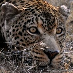 This wildlife wednesday we're celebrating African leopards! Rhino Poaching, African Leopard, Extraordinary People, Leopards, Birds Of Prey, Africa Travel, Wednesday, Crime, Wildlife