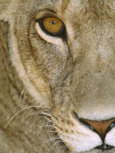 Tanzania Africa; Lioness Close-Up. (Photographic Print at AllPosters.com).
