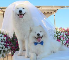 Excellent pretty dogs tips are readily available on our internet site. Check it out and you wont be sorry you did. Beautiful Dogs, Animals Beautiful, Cute Animals, Samoyed Dogs, Pet Dogs, Doggies, Dog Wedding Outfits, Dumb Dogs, Funny Dog Pictures