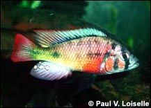 Haplochromis (Xystichromis) phytophagus Cichlid Fish, African Cichlids, Victoria, Underwater Life, Colorful Animals, Exotic Fish, Aquatic Plants, Freshwater Fish, Tropical Fish
