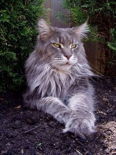 Great grey Maine coon Tap the link for an awesome selection cat and kitten products for your feline companion! #catandkittens