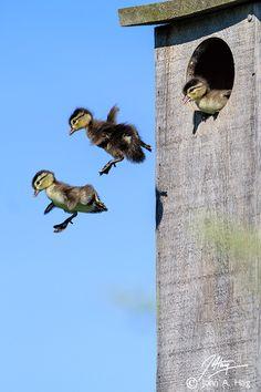"""Jump Day"", Baby Wood Ducks leave the nest box by John Haig"
