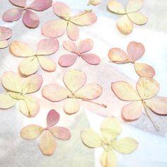 Les premières fleurs séchées !🌸.Après une semaine sous presse ces fleurs d'hortensia nous révèlent une merveilleuse couleur poudrée et délicate!.....#pressedflowers #hortensia #hydrangea #chemindesmarettes #flowerpower #fleurssechees #herbier #herbario #herbarium #workinprogress #girlboss #pursuepretty #darlingmovement #flowersaddict #plantslover #dryflower #driedflowers