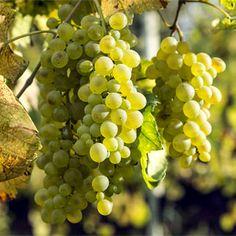 """Para pronunciar o nome dessa uva, diga """"falanguina"""", e capriche no sotaque italiano...  Essa é uma cepa muito antiga, supostamente de origem grega. E, mesmo a OIV (Organização Internacional da Vinha e do Vinho) não reconhecendo nenhum sinônimo oficial para seu nome, não é difícil encontrá-la sendo chamada de Falanghina Grega."""