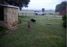 Dog playing with a deer