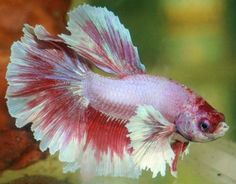 Live Dumbo / Elephant Ears Betta Fish (Halfmoon Plakat) Male