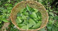 Guayusa contains less caffeine per cup than coffee, but more caffeine per cup than green tea or yerba mate'