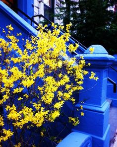 Forsythia against a blue background, great contrast! Mellow Yellow, Blue Yellow, Blue Building, Yellow Cottage, Yellow Theme, Nature Plants, French Blue, Spring Is Here, Love Blue