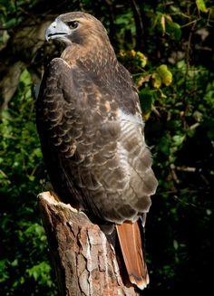 Característica cauda vermelha do falcão da cauda vermelha (Buteo jamaicensis).  Fotografia: Greg Hume.