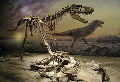 Albertosaurus  . ROYAL TYRRELL MUSEUM