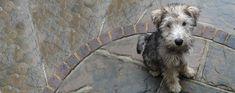 Image result for wire hair snauzer Designer Dogs Breeds, Cushing Disease, Wire Fox Terrier, Miniature Schnauzer, Woodland Creatures, Dog Walking, Dog Design, Dog Friends, Hair