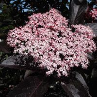 Sambucus nigra is a beautiful deciduous tree with dark aubergine well-cut foliage and beautiful pink flowers. Available in 1 litre pots, buy online now. Sambucus Nigra Black Lace, Colorful Flowers, White Flowers, Herb Shop, How To Attract Birds, Deciduous Trees, Elderflower, The Fresh, Shrubs