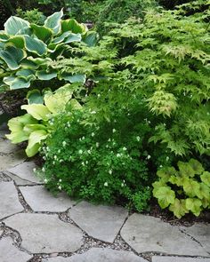 Planting Combination: On the top left is Hosta 'Sagae'. Below it is lime colored Hosta ' Blaze of Glory'. With tiny white flowers in the centre is Corydallis ochroleuca. Peaking out from the lower right is Heuchera 'Delta Dawn'. Bending over the whole group is a Japanese Maple Acer palmatum 'Peaches and Cream'.