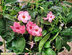Plantas y flores: Mandevilla x amabilis