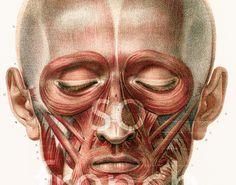 29X40cm  Muscles de la tête et du Cou, Corps Humain, Planche Anatomique…