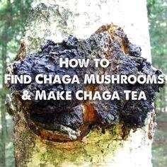 The chaga mushrooms is a valuable super food! Learn how to find chaga mushrooms and make chaga tea. Edible Wild Mushrooms, Growing Mushrooms, Stuffed Mushrooms, Healing Herbs, Medicinal Herbs, Mushroom Tea, Edible Wild Plants, Mushroom Hunting, Cancer Fighting Foods