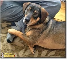 Read Carter's story the Shepherd, Beagle mix from Annville, Pennsylvania and see his photos at Dog of the Day http://DogoftheDay.com/archive/2014/April/14.html .