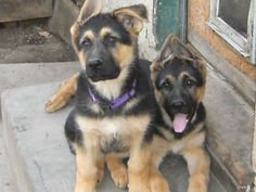 German Shepherds ... those big floppy ears and pink sloppy tongue ... too cute for words!